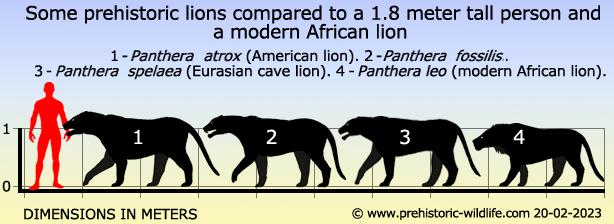 African Lion vs Siberian Tiger Fight Comparison